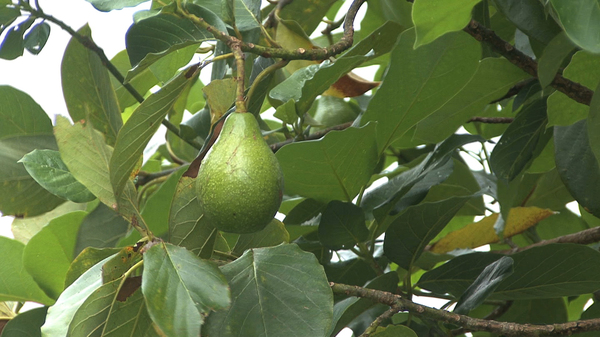 grow an avocado tree in the desert - Grow An Avocado